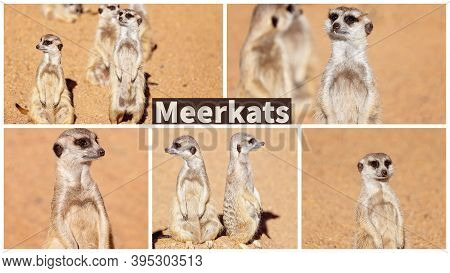 A Collage Of Meerkats Looking Around Inquisitively