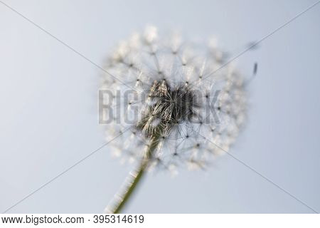 White Fluffy Dandelion On A Blurry Background.white Dandelion On A Blurry Background. Fluffy Dandeli