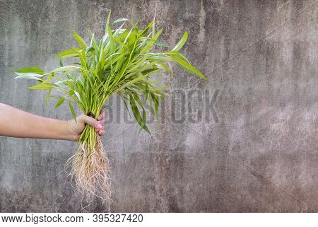 Morning Glory In A Woman's Hand On Concrete Wall Background. Morning Glory Is Rich In Many Important