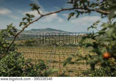 Vineyards, Palava Region, South Moravia, Czech Republic.spring Rural Landscape Of Nature With Blosso