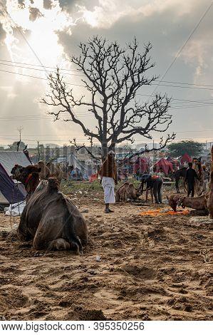 Pushkar, India - November 2020 Camel At Pushkar Mela.famous Camel And Livestock Fair In The Town Of