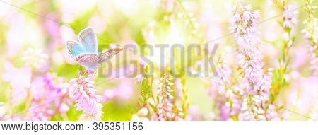 Dreamy Heather Flowers Bloom, Grass, Butterfly Close-up Against Sunlight Panorama. Macro With Soft F