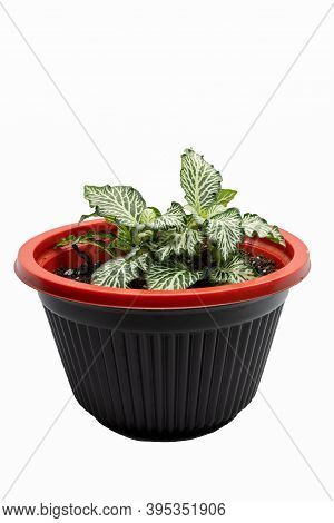 A Small Nerve Plant (fittonia Albivenis), Planted In A Bowl And Is Displayed On A White Background.