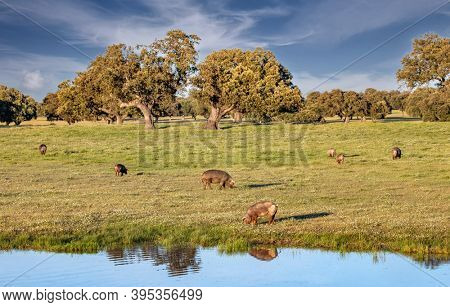 Iberian pigs eating in the meadow close to a lake