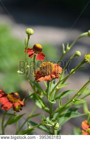 Sneezeweed Red Glory Flowers - Latin Name - Helenium Red Glory
