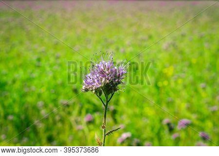 Green Manure Phacelia Tanacetifolia Flower On The Phacelia Field .
