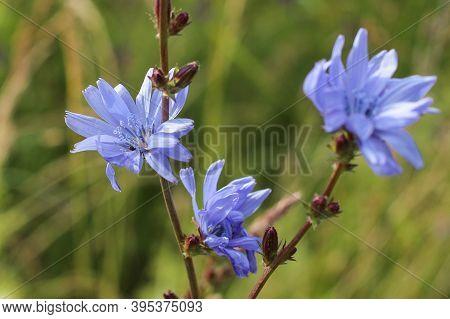 Blue Flowers Cornflowers In The Garden. Cornflower In The Flowerbed.