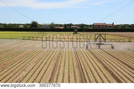 Automatic Irrigation System To Irrigate The Field Of Green Fresh Lettuce During The Summer Season
