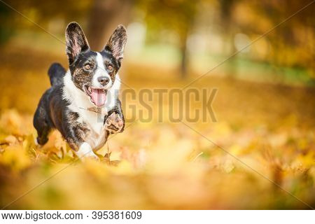 Cardigan Welsh Corgi dog in autumn park. Loyal pet friend