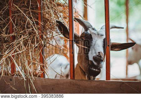 A Motley Horned Goat Looks Through The Grate Of The Pen. Keeping Animals On The Farm. Contact Zoo.