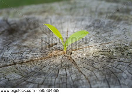 Small Plant Tree Growing In Center Trunk Of Cut Stumps. New Life Concept.  Environment Concept. Eart