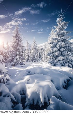 White winter spruces in snow on a frosty day. Location place Carpathian mountains, Ukraine, Europe. Perfect wintry wallpapers. Magical nature photography. Happy New Year! Discover the beauty of earth.
