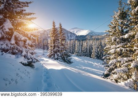 Incredible winter spruces in snow on a frosty day. Location place Carpathian mountains, Ukraine, Europe. Wintry wallpapers. Christmas holiday concept. Happy New Year! Discover the beauty of earth.