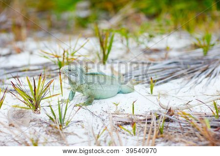 Rock iguana in a natural environments at Little Water Cay in Turks and Caicos poster