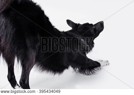 Border Collie Dog Streches Over White Background. Dog Health.