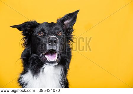 Astonished Border Collie Dog, Open Mouth, Isolated On Bright Yellow Background.