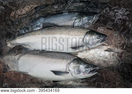 Silver Or Coho Salmon In Alaska Freshly Caught And Kept Fresh In Ice