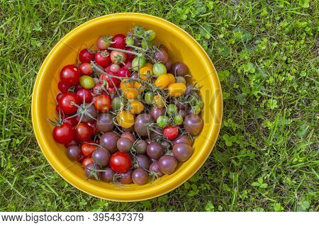 Fresh Red Purple Yellow Lots Of Tomatoes In Big Plate With Green Grass Background