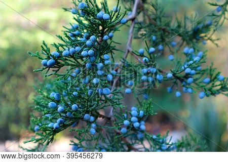 Juniperus Virginiana (virginian Juniper) Or Eastern Red Cedar Tree Foliage And Seeds. Blue Berries O