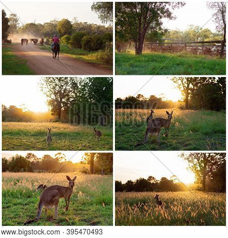 Collage Of Images Of Cattle Droving And Australian Kangaroos At Sunset