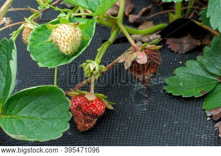 Anthracnose Disease Affecting A Ripe Strawberry Fruit