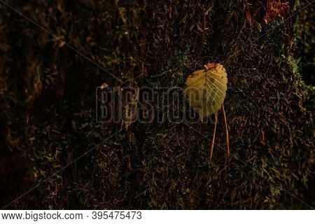 Green Forest Moss On A Decrepit Wood With Yellow Leaf And Pine Needles Soft Focus Background.
