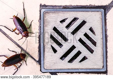 Many Cockroaches Entering A Dirty Bathroom Drain. Poor Hygiene, Problem With Pests And Insects At Ho
