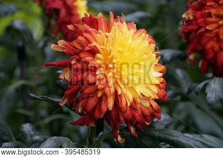 A Red And Yellow Reflex Mum 'king George' Flower At Full Bloom