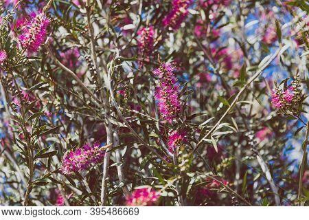 Native Australian Pink Bottlebrush Callistemon Tree Outdoor In Sunny Backyard