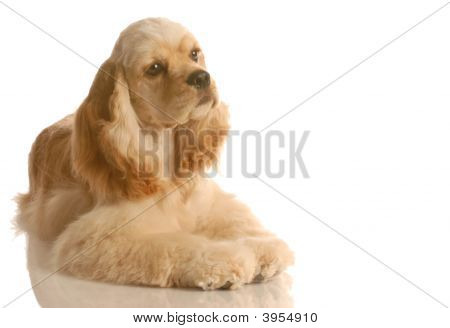 american cocker spaniel laying down isolated on white background poster