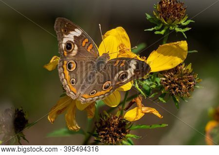 A Common Buckeye Butterfly (junonia Coenia) Finding Nectar In Old Withered Blooms. Raleigh, North Ca