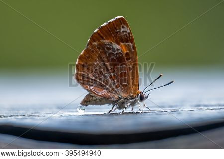 The Harvester (feniseca Tarquinius) Is The Only Carnivorous Butterfly In North America. The Larvae F