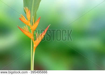 Heliconia Flower With Green Leaf On Natural Blurred Background.
