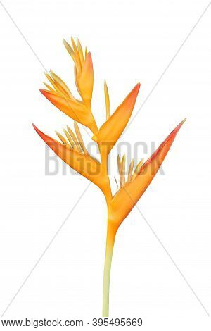 Heliconia Flower Isolated On White Background With Clipping Path.