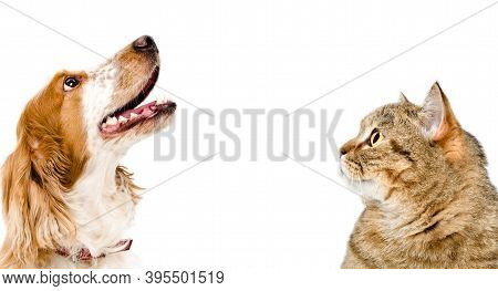 Portrait Of A Cat Scottish Straight And Dog Russian Spaniel Looking Up, Closeup, Isolated On White B