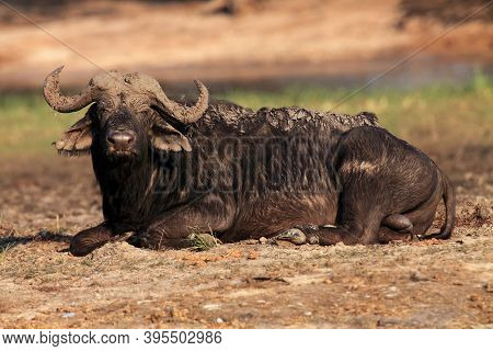 The African Buffalo Or Cape Buffalo (syncerus Caffer) Large Male Lying Covered In Mud. A Big Black B