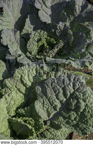 Brassica Oleracea Food Plant Called Green Cabbage. Winter Plant Used In Cooking.