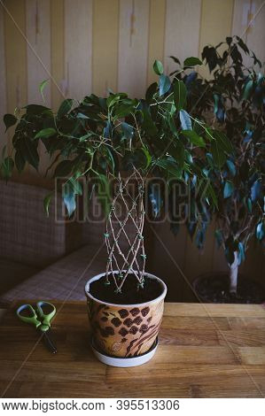 How To Weave Weeping Fig Plant Stem. Methods And Patterns Of Weaving Ficus Benjamina At Home. Woman