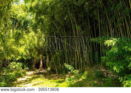 Panorama Bamboo Forest Or Bamboo Grove With Bushes