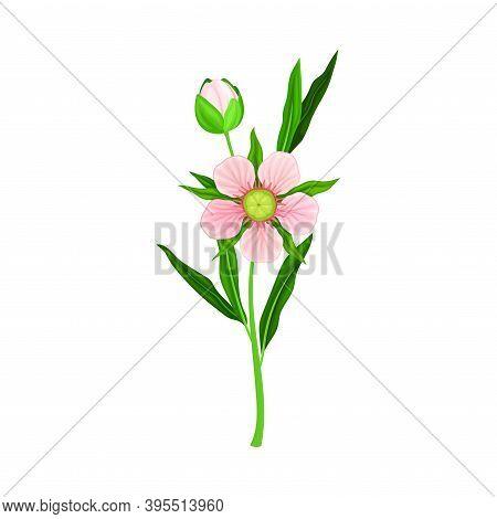 Manuka Or Tea Tree Pink Flower With Five Petals On Tall Leafy Stem Vector Illustration