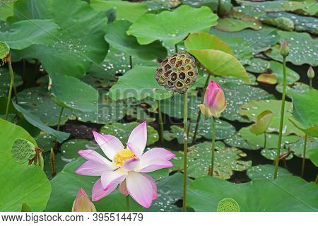 Pink Lotus Buds And Flower, Lotus Leaves, And Lotus Seed Pods Of Varying Degrees Of Maturity, In The