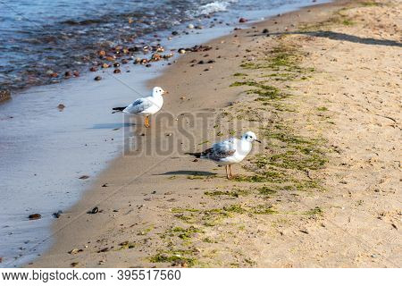 Panorama Of The Blue Baltic Sea With Blue Sky, Sandy Beach And Seagulls. White Seagulls On The Beach