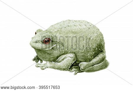 Common Cute Green Toad Or Frog Watercolor Illustration. Close Up Amphibia Graphic Image. Green Frog