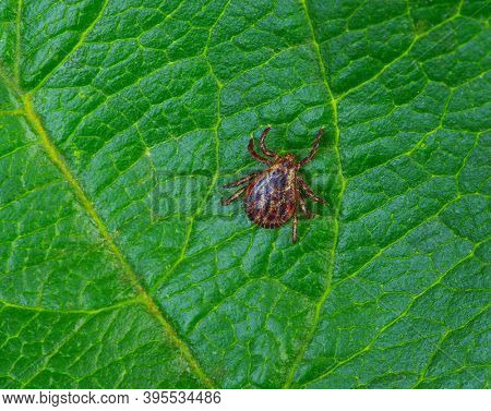 Tick insect on a green plant background. Mite parasitic.