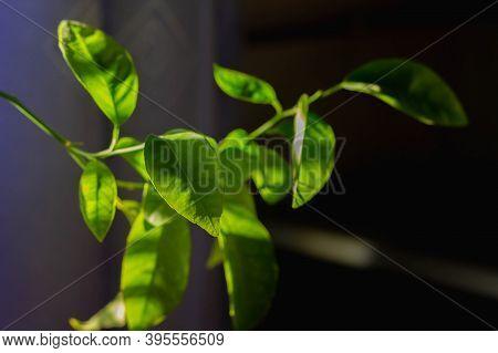 Plant Lemon Or Apelchin At Home On The Windowsill. Beautiful Luscious Green Foliage Is Illuminated B