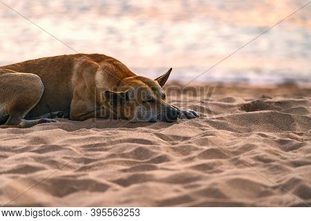 Local Thai Breed Stray Dog Or Homeless Dog Is Sleeping On The Beach In Thailand, Sunset Time At Sea,