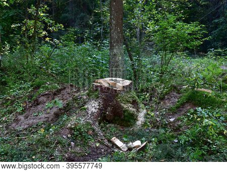 Felled Trees In Forest. Deforestation And Illegal Logging, International Trade In Illegal Timber. St
