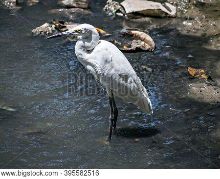Isolated Image Of Little Egret Bird(egretta Garzetta) In Water. Little Egret Is A Species Of Small H