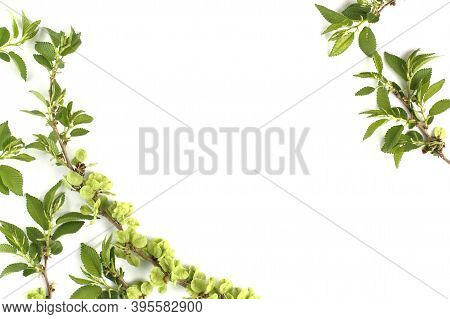 Frame From Young Spring Shoots Of An Elm Tree On A White Background. Top View, Flat Lay, Place For T