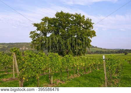 Rows Of Vines In Vineyard, Dorking, Surrey, England. With Oak Tree In Middle